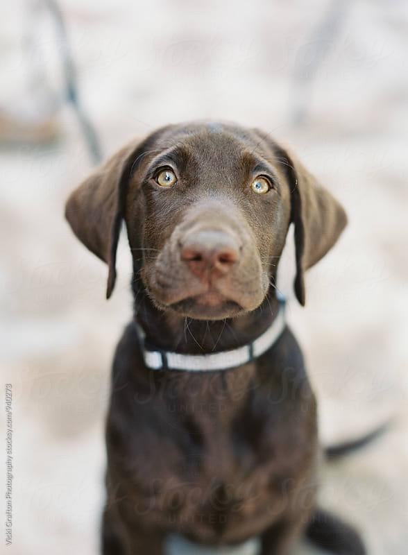 Chocolate Labrador Puppy  by Vicki Grafton Photography for Stocksy United