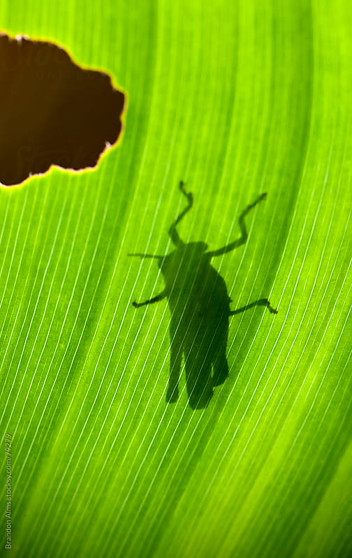 Grasshopper Silhouette Backlit by the Sun on a Leaf by Brandon Alms for Stocksy United