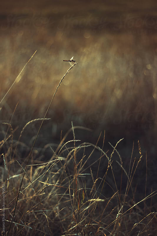 Dragonfly on grass in field by Jovana Rikalo for Stocksy United