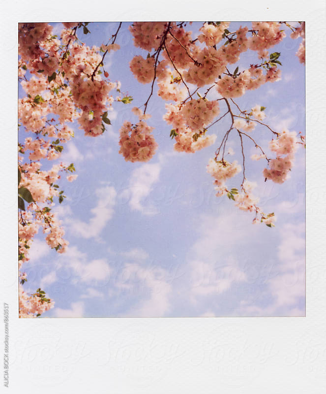 Polaroid Of Pink Cherry Blossoms Against A Blue Sky by ALICIA BOCK for Stocksy United