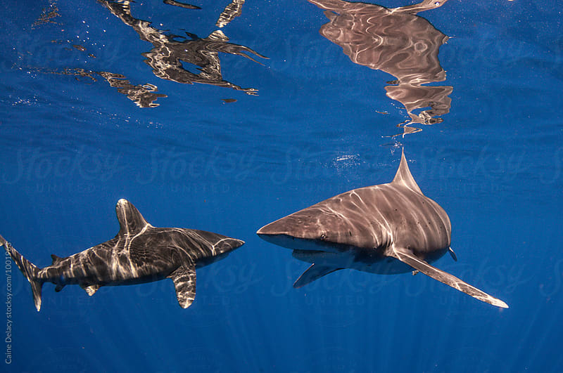 Small school of sharks in blue water by Caine Delacy for Stocksy United