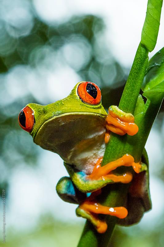 Portrait of Red-Eyed Tree Frog ,Agalychnis callidryas, by Song Heming for Stocksy United