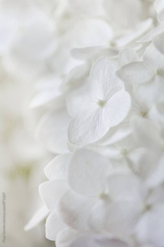 White flower background by Pixel Stories for Stocksy United
