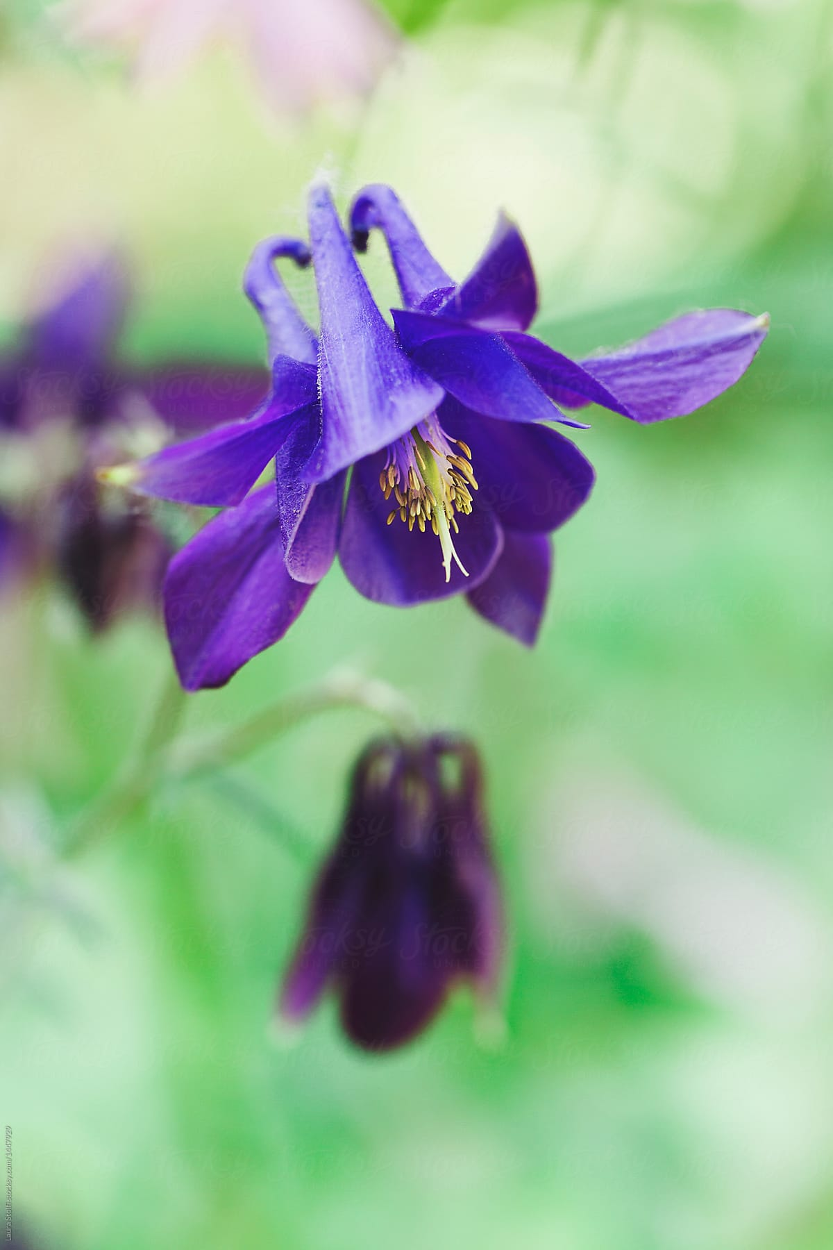 Close up of dark purple columbine flower and buds stocksy united close up of dark purple columbine flower and buds by laura stolfi for stocksy united izmirmasajfo
