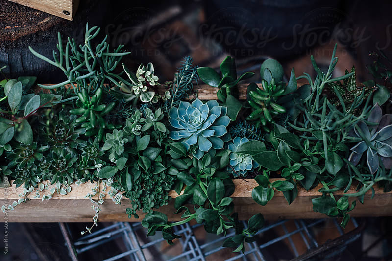 Wooden Box full of Green Succulents by Kara Riley for Stocksy United