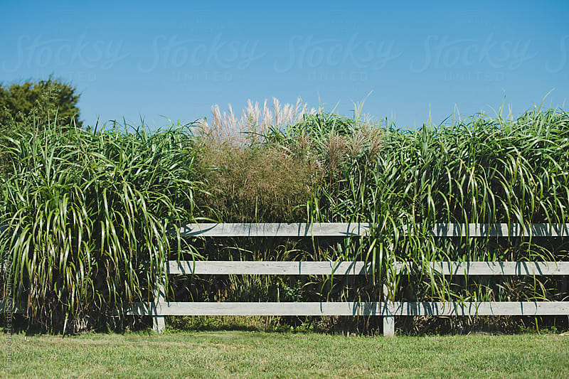 Plants spilling over wooden fence by Lauren Naefe for Stocksy United