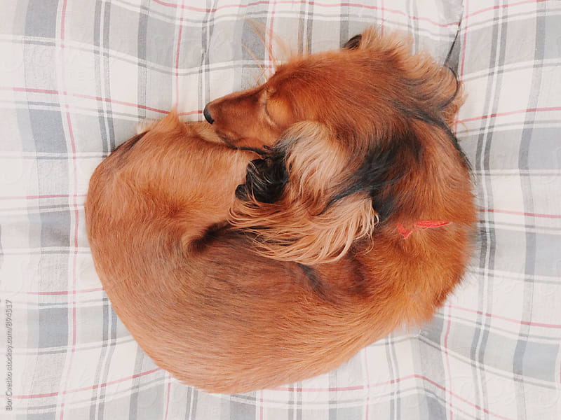 Dog on its pillow by Bor Cvetko for Stocksy United