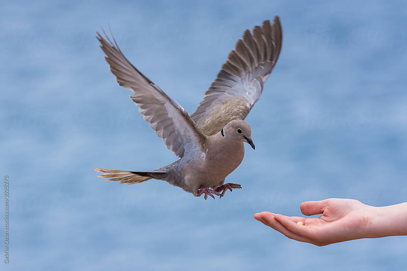 Eurasian collared dove by Gabriel Ozon for Stocksy United