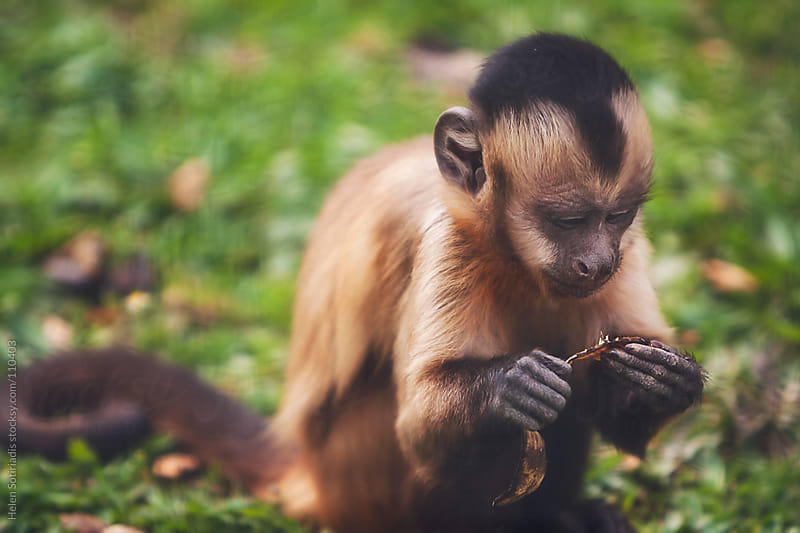Monkeys at the Zoo by Helen Sotiriadis for Stocksy United