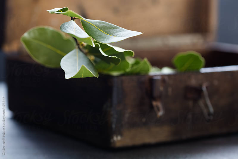 A sprig of fresh bay leaves by Aniko Lueff Takacs for Stocksy United