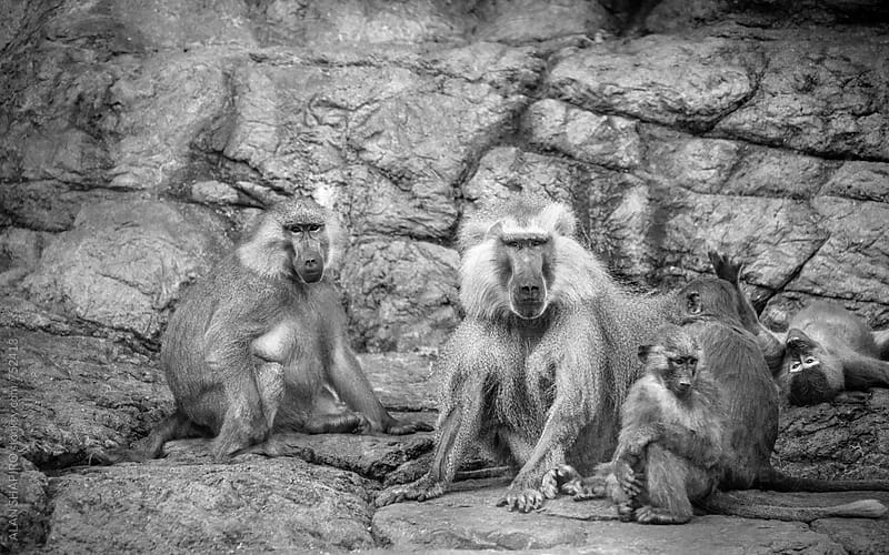 Hamadryas Baboon Family by ALAN SHAPIRO for Stocksy United