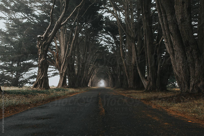 A Foggy Cypress Tree Tunnel by Daniel Inskeep for Stocksy United