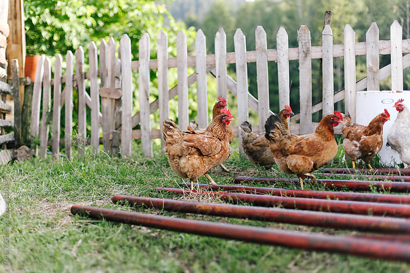 Chickens outdoor by Marija Kovac for Stocksy United