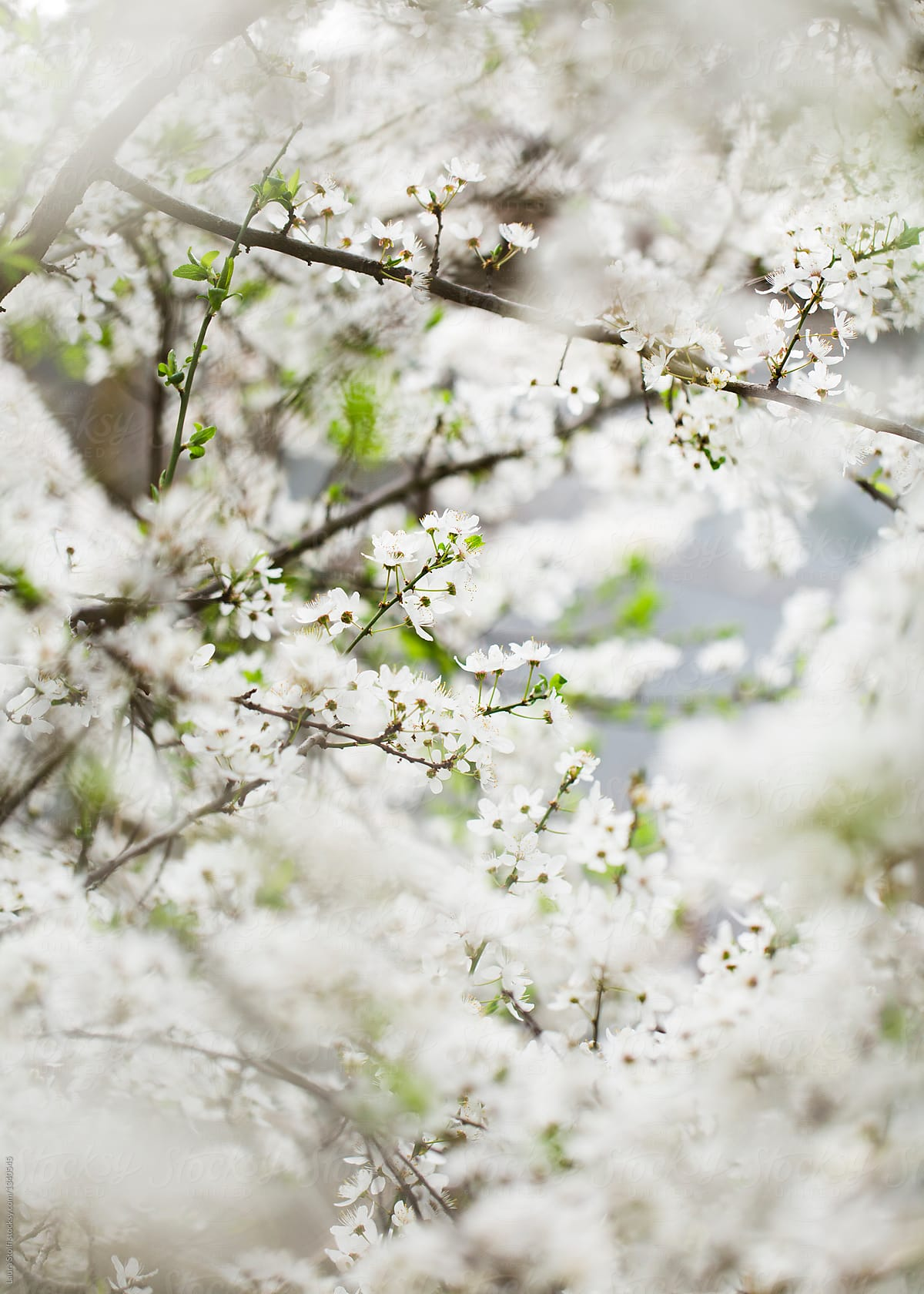 White Blossom Plum Tree Covered With White Flowers Stocksy United