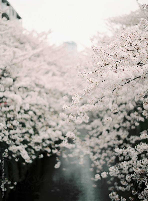 Cherry blossom, Japan, Tokyo by Yann AUDIC for Stocksy United