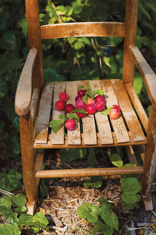 Organic Red Plums on Chair in Garden by Sara Remington for Stocksy United