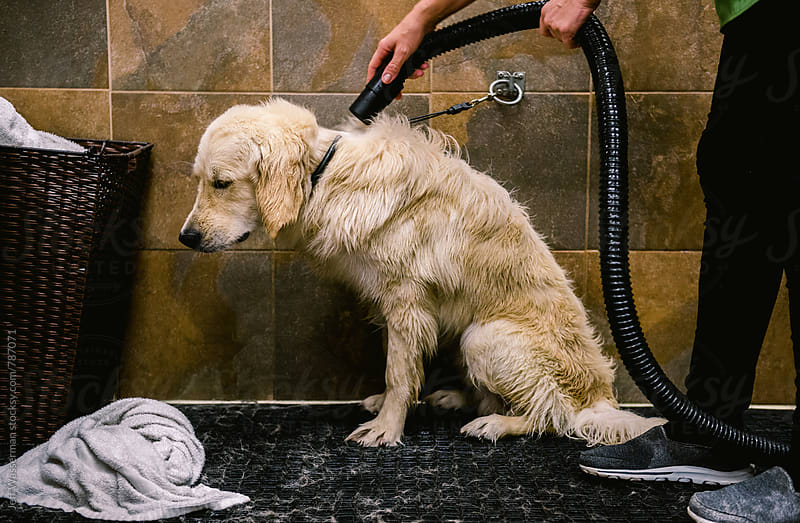 Dog Getting Dried After Wash by Studio Six for Stocksy United