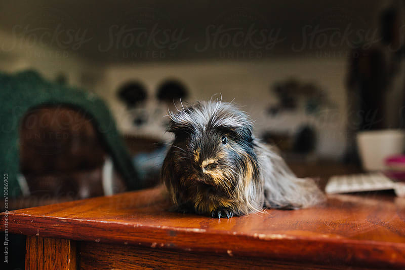 Hairy Guinea Pig by Jessica Byrum for Stocksy United
