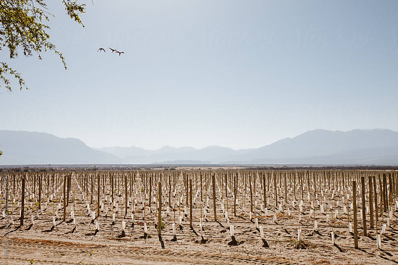 Fields prepared for the growth of the vines by michela ravasio for Stocksy United