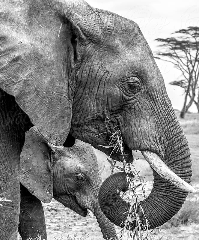 Elephants, National Park, Tanzania, Africa by Jaydene Chapman for Stocksy United