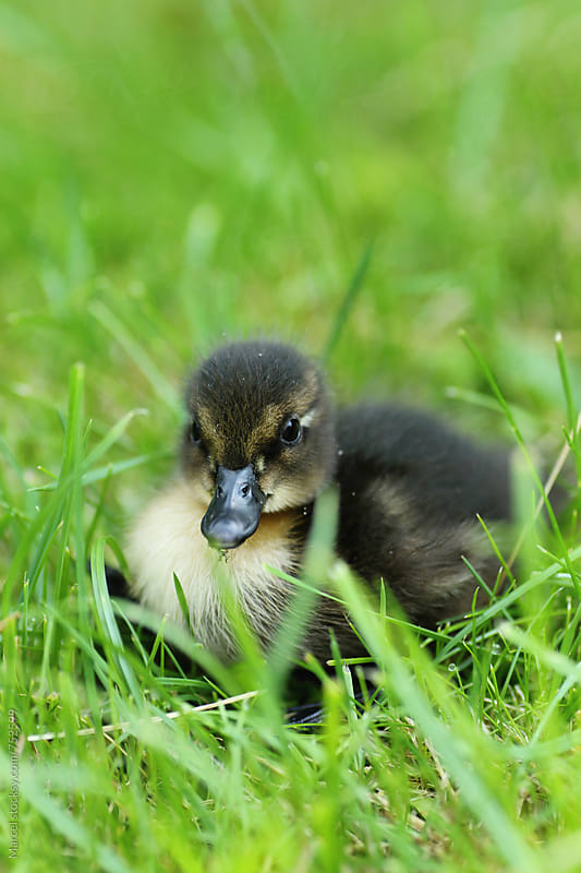 Extremely cute newborn duckling in the grass by Marcel for Stocksy United