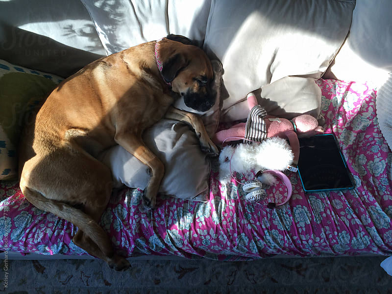 A large dog lies curled up on a couch with toys. by Kelsey Gerhard for Stocksy United