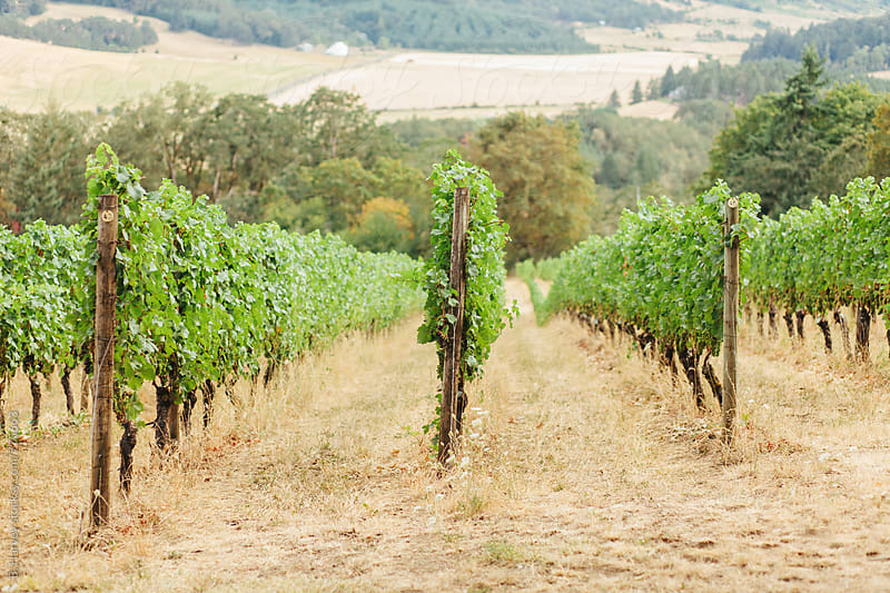 Beautiful Vineyard in the Pacific Northwest by B. Harvey for Stocksy United