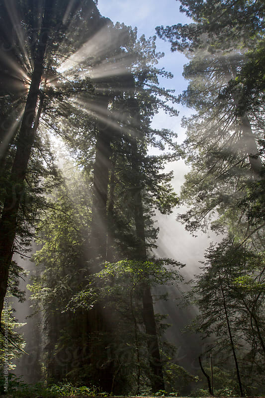 Sunlight breaking through fog in the Redwood forest by Mihael Blikshteyn for Stocksy United