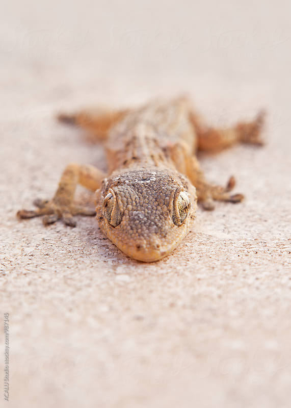 Gecko looking at camera by ACALU Studio for Stocksy United