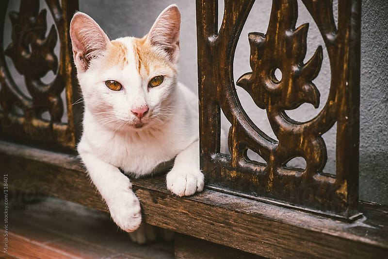 Cute cat laying on the wooden fence. by Marija Savic for Stocksy United
