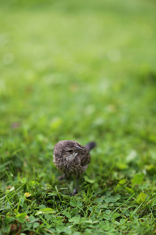 A Small Bird Stands In A Patch of Green Grass by ALICIA BOCK for Stocksy United