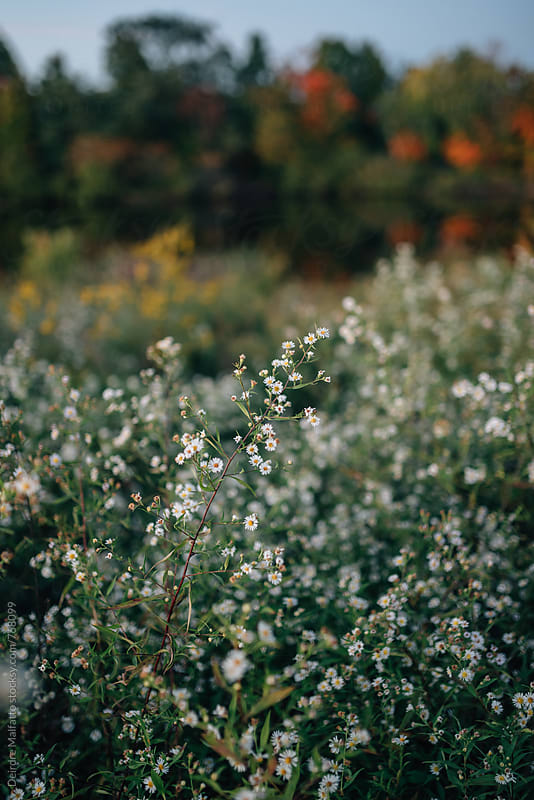 white wildflowers in autumn by Deirdre Malfatto for Stocksy United