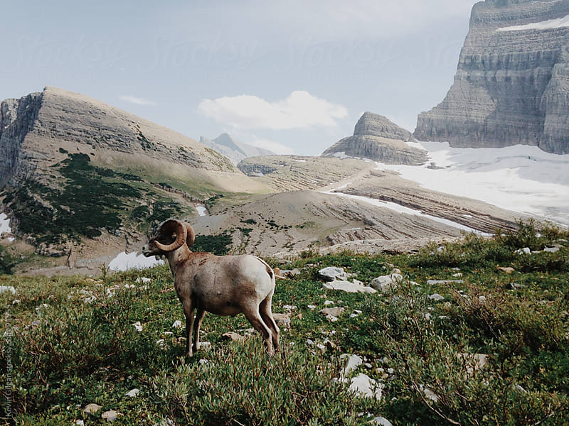 Big Horn Sheep by Kevin Gilgan for Stocksy United