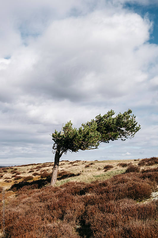Windswept tree and heather on Ramsley Moor. Derbyshire, UK. by Liam Grant for Stocksy United