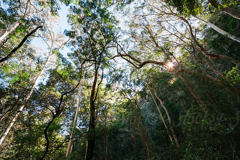 eucalyptus forest by Cameron Zegers for Stocksy United