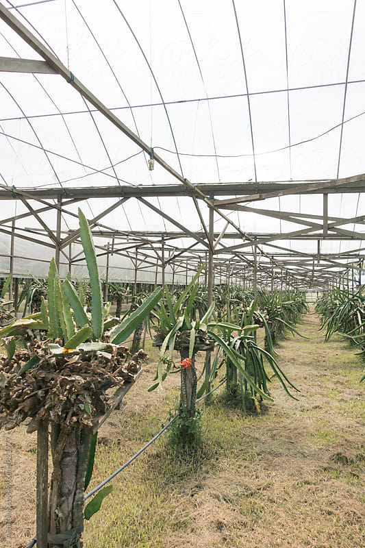Row of dragon fruit trees in a farm by Alita Ong for Stocksy United