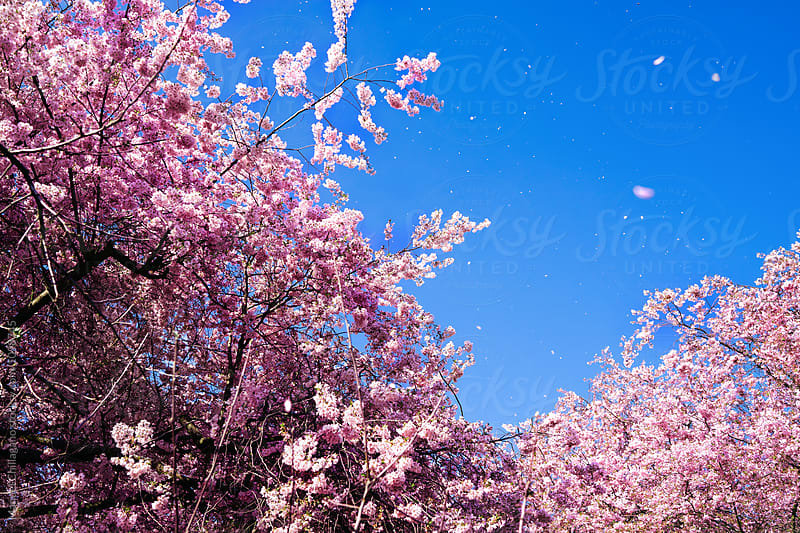 Cherry blossoms in the wind against blue sky by Manuel Chillagano for Stocksy United