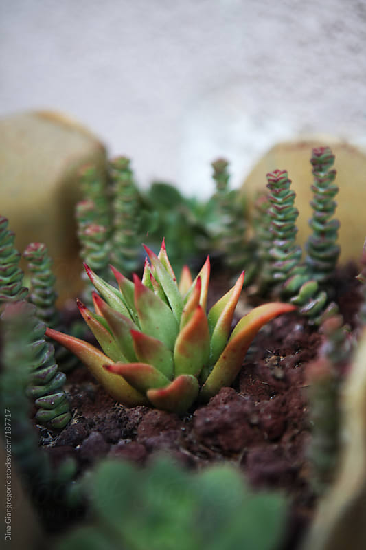 Variety of succulents in planter by Dina Giangregorio for Stocksy United