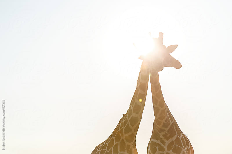 Giraffes in the Sun by Helen Sotiriadis for Stocksy United
