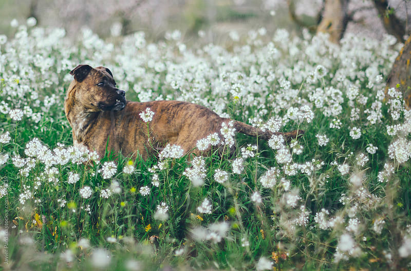 a dog among white flowers by Javier Pardina for Stocksy United