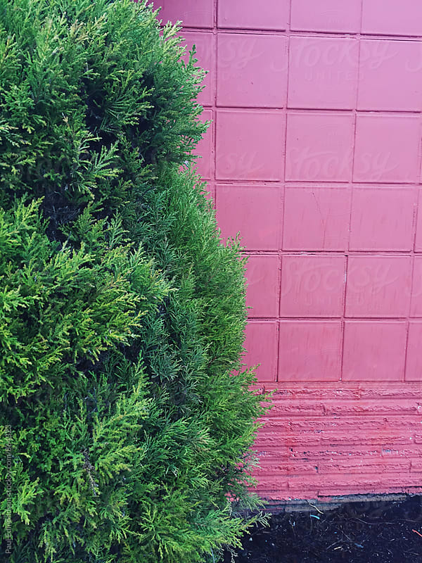 Green cedar hedge against pink building wall by Paul Edmondson for Stocksy United