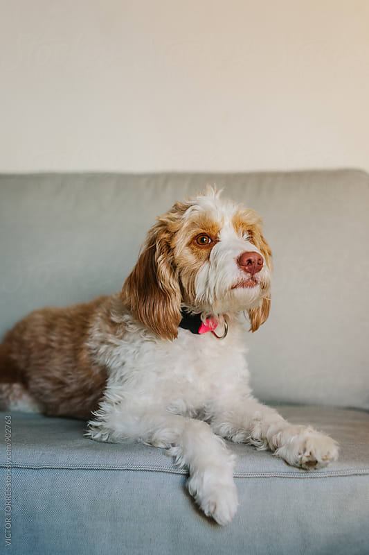 Cute Dog Resting on a Sofa by Victor Torres for Stocksy United