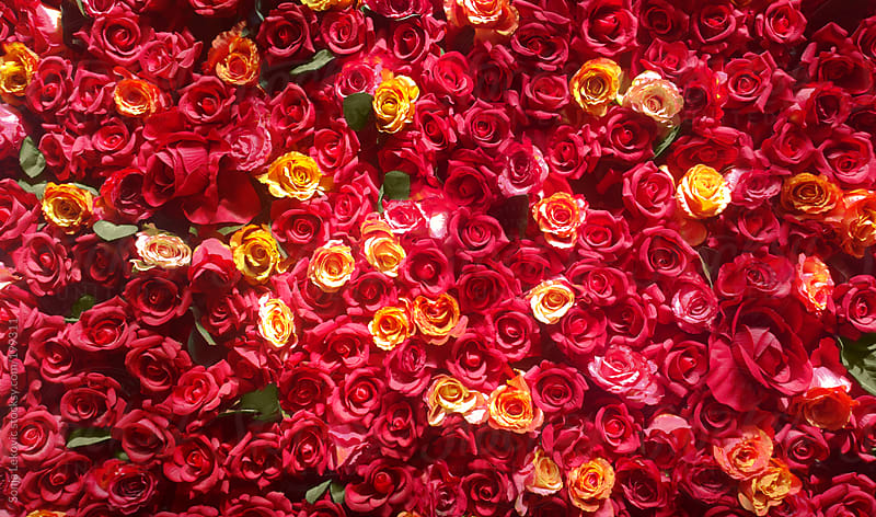 red roses background by Sonja Lekovic for Stocksy United