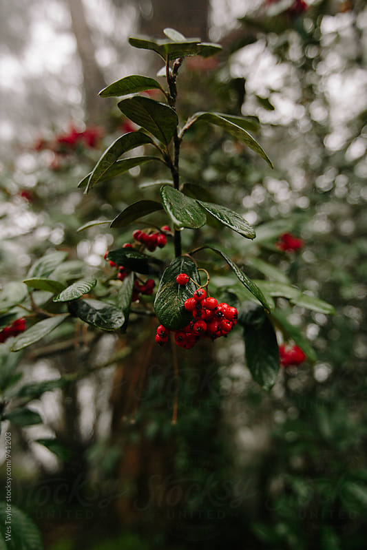 Berries on Tree by Wes Taylor for Stocksy United