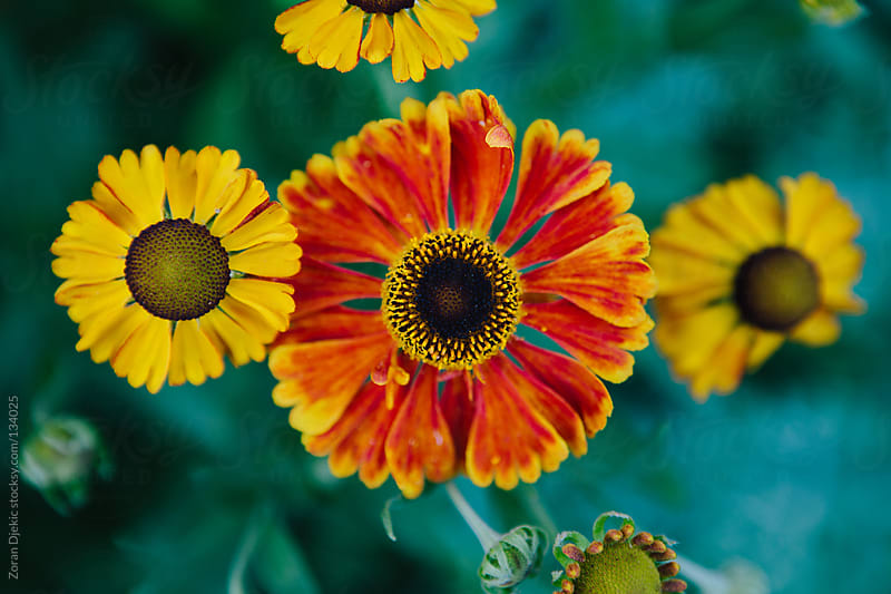 A Sneezeweed from above by Zocky for Stocksy United