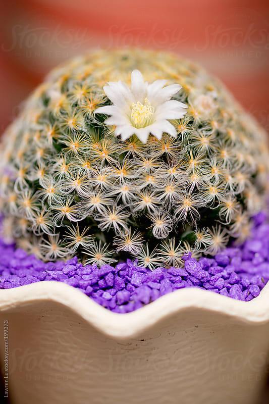 Lovely white flower on cactus in pot by Lawren Lu for Stocksy United