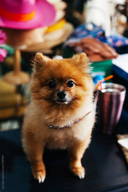 a pomeranian dog on table by jira Saki for Stocksy United