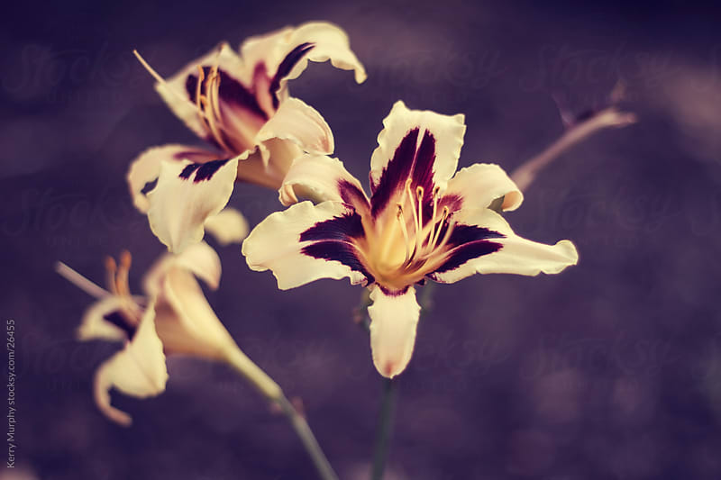 Close up of lily flowers by Kerry Murphy for Stocksy United