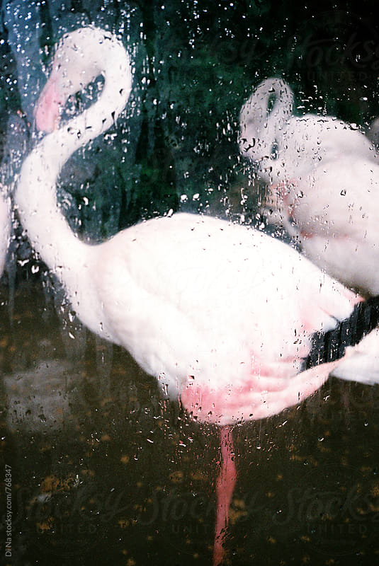 Flamingos behind wet glass by Dina Lun for Stocksy United