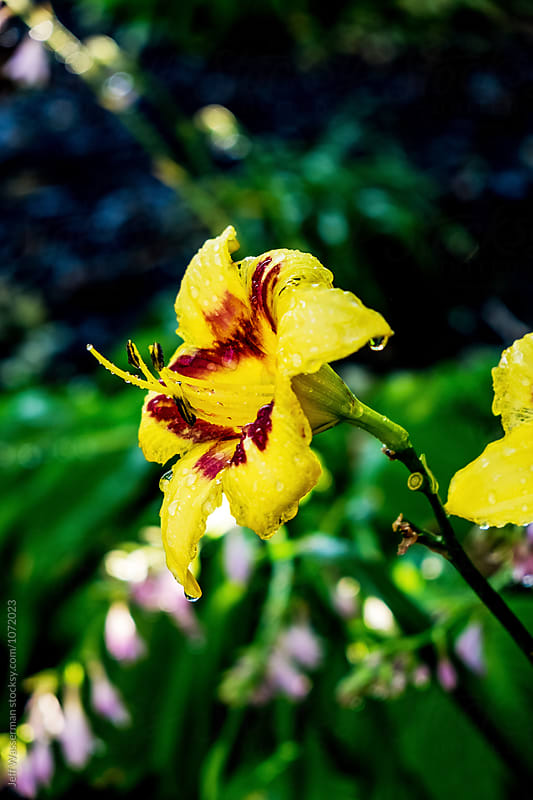 Wet Yellow Lilies by Jeff Wasserman for Stocksy United